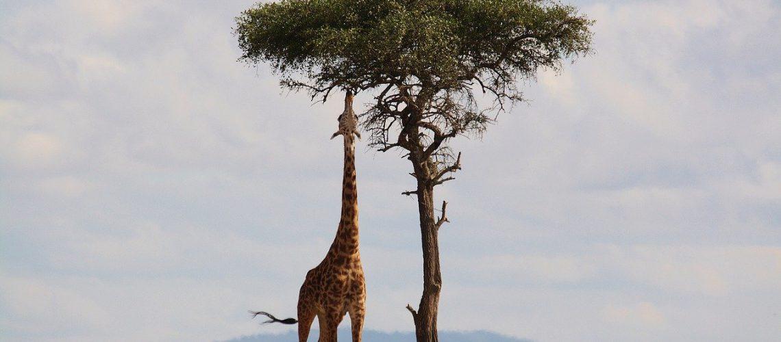 ratkes-safari (2)